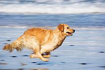 Foto de un perro corriendo, feliz, en la playa